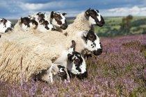 Mula gimmer corderos - foto de stock