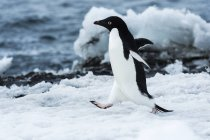 Adelie penguin running on snow — Stock Photo