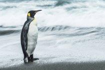 Король Король стоячи пінгвін — стокове фото