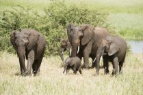 Elephant family group — Stock Photo