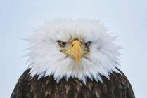 Bald Eagle puffed up — Stock Photo