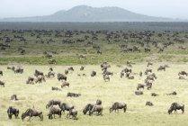 Large herd of Wildebeest — Stock Photo