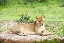 León tendido sobre hierba verde - foto de stock
