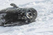 Tenuta Weddell stesa sulla neve — Foto stock