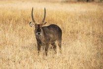 Чоловічий загальні waterbuck — стокове фото