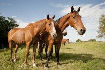 Neugierige Pferde auf der Weide — Stockfoto