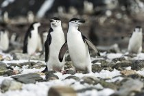 Chinstrap penguins standing — Stock Photo