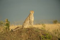 Cheetah  sitting on ground — Stock Photo