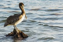 Pelican perched on rock — Stock Photo
