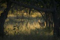 Arbusti dall'aspetto impala diffidenti — Foto stock