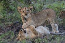 Лев детенышей играть вместе — стоковое фото