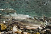 Migrating salmon with trout — Stock Photo