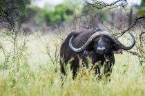Kapbüffel steht im Gras — Stockfoto