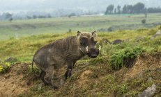 Warthog standing on grass — Stock Photo