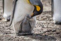 King penguin bending towards chick — Stock Photo