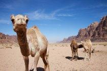 Верблюды, стоя на поле — стоковое фото