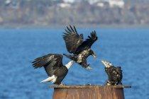 Bald eagles landing — Stock Photo