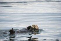 Lontra di mare nuota via — Foto stock