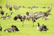 Gru di Sandhill in piedi sul prato verde, sfondo sfocato — Foto stock