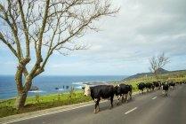 Крупный рогатый скот, ходить на дороге — стоковое фото