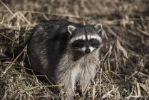 Raccoon prowls in brush — Stock Photo