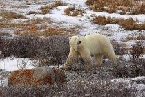 Urso polar caminhando na terra — Fotografia de Stock