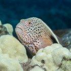 Vista close-up de amarelo Paracirrhites forsteri nadando debaixo d 'água perto de corais — Fotografia de Stock
