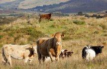 Скот в поле выгона — стоковое фото