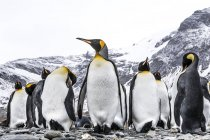 King penguins standing on beach — Stock Photo
