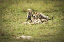 Гепард с медвежатами укладки — стоковое фото