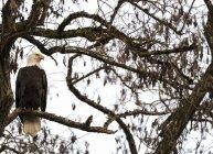 Білоголовий орлан сиділа в дерево — стокове фото