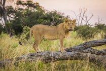Condizione del Leone e la testa girevole — Foto stock