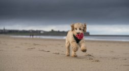 Cockapoo correndo na praia — Fotografia de Stock