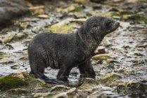 Cucciolo di foca da pelliccia antartica — Foto stock