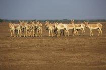Herde der Khur, indische Wildesel in der Wüstenlandschaft des indischen Wildschutzgebietes — Stockfoto