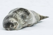 Weddell seal laying on snow — Stock Photo