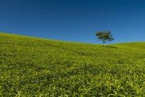 Piccolo albero tra collina — Foto stock