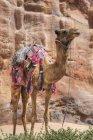 Cammello in piedi contro scogliera — Foto stock