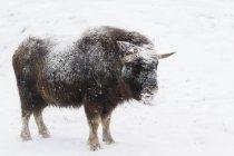 Gelado de olhar o boi-almiscarado (Ovibos moschatus) fica no pasto nevado, em cativeiro no centro de conservação da vida selvagem Alasca; Portage, Alaska, Estados Unidos da América — Fotografia de Stock