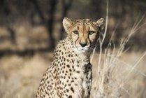 Крупным планом гепарда на открытом воздухе — стоковое фото