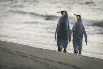 Дві Королівські пінгвіни — стокове фото