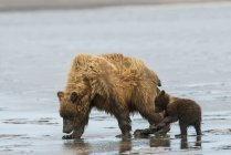 Brown bear sow — Stock Photo