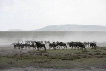 Manada de ñus se despierta - foto de stock