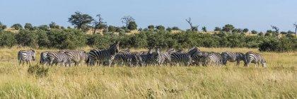 Zebra di Burchell pascolo — Foto stock