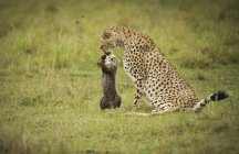 Cheetah with cub outdoors — Stock Photo