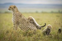 Cheetah standing on grass — Stock Photo