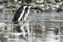 Pinguini di Chinstrap sulla superficie dell'acqua — Foto stock