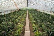 Plantação de ananás dentro de casa — Fotografia de Stock