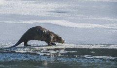 Otteranomal північноамериканські річка — стокове фото