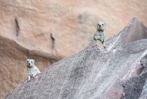 Hírax rock (Petromus) está sentado na pedra — Fotografia de Stock